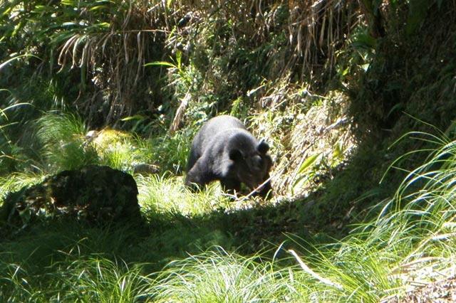 野外臺灣黑熊影像